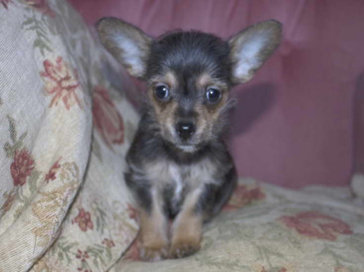 yorkie chihuahua mix for sale chihuahua mix with yorkie for sale pets and dogs 3596