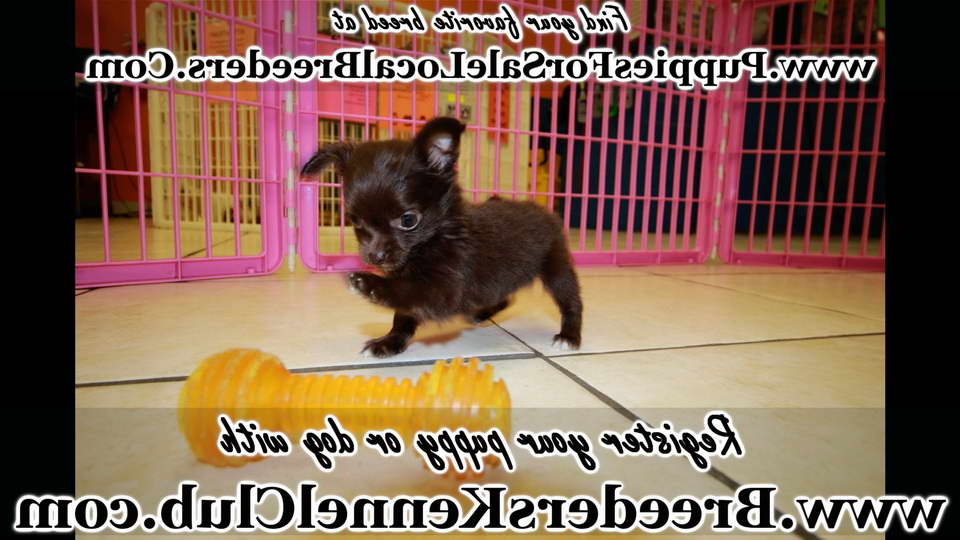 Chihuahua Puppies For Sale Augusta Ga Pets And Dogs
