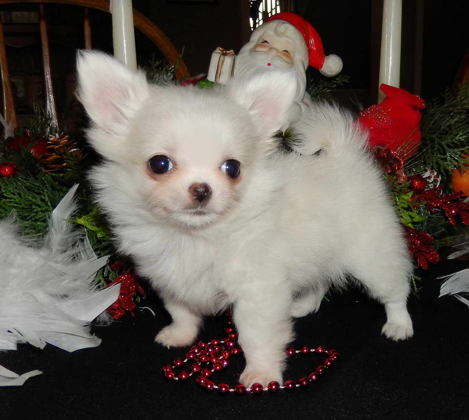 View Ad: Chihuahua Puppy for Sale near Virginia