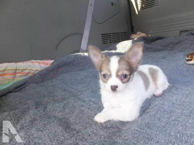 Chihuahua Puppies For Sale Dayton Ohio Pets And Dogs