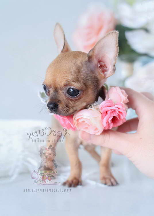 Chihuahua Puppies For Sale Florida | Pets and Dogs