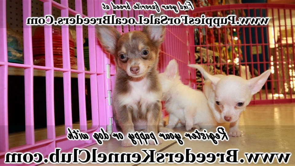Chihuahua Puppies For Sale Ga Pets And Dogs