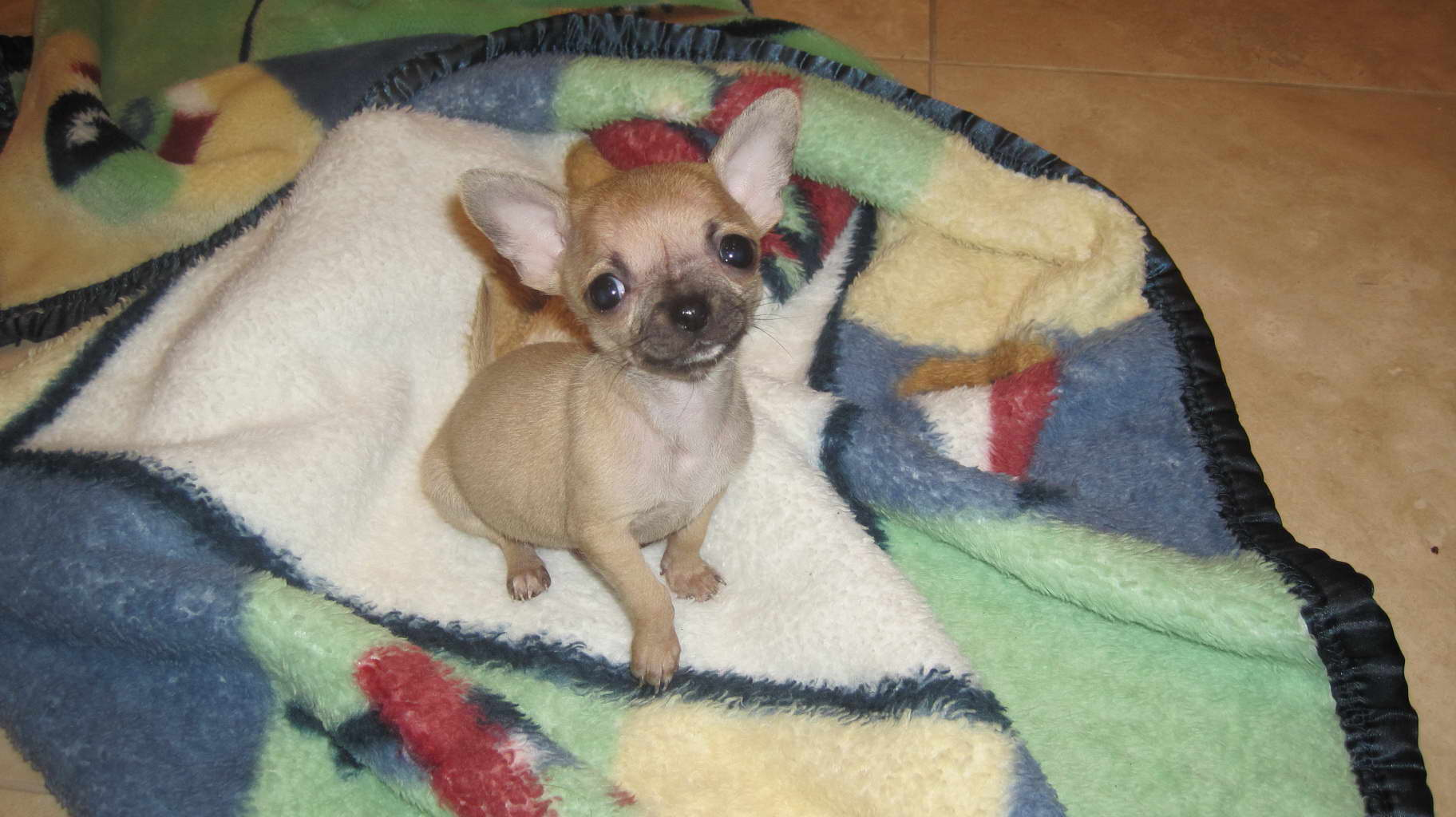 Chihuahua Puppies For Sale In Knoxville Tn   PETSIDI