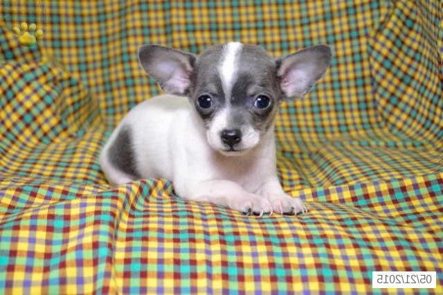 Chihuahua Puppies For Sale In Ohio Pets And Dogs