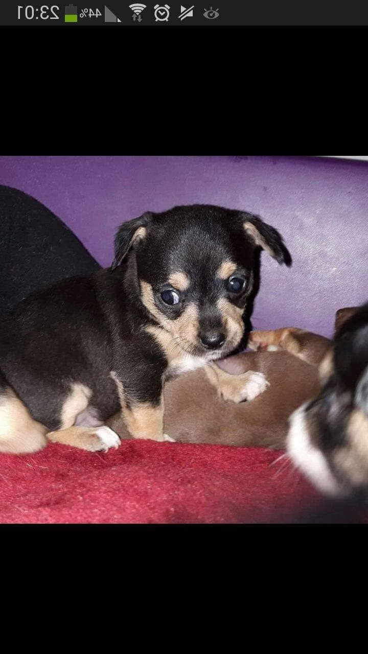 chihuahua for sale in pa chihuahua puppies for sale in pittsburgh pa pets and dogs 5607