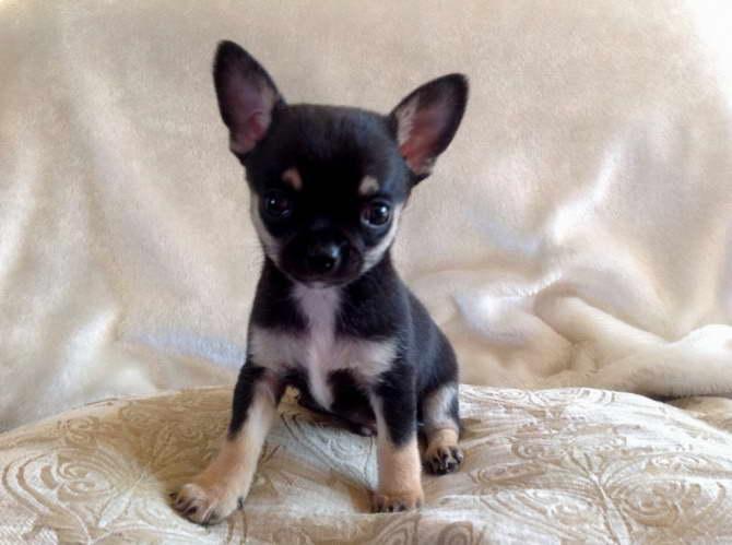 Chihuahua Puppies For Sale In South Dakota | PETSIDI