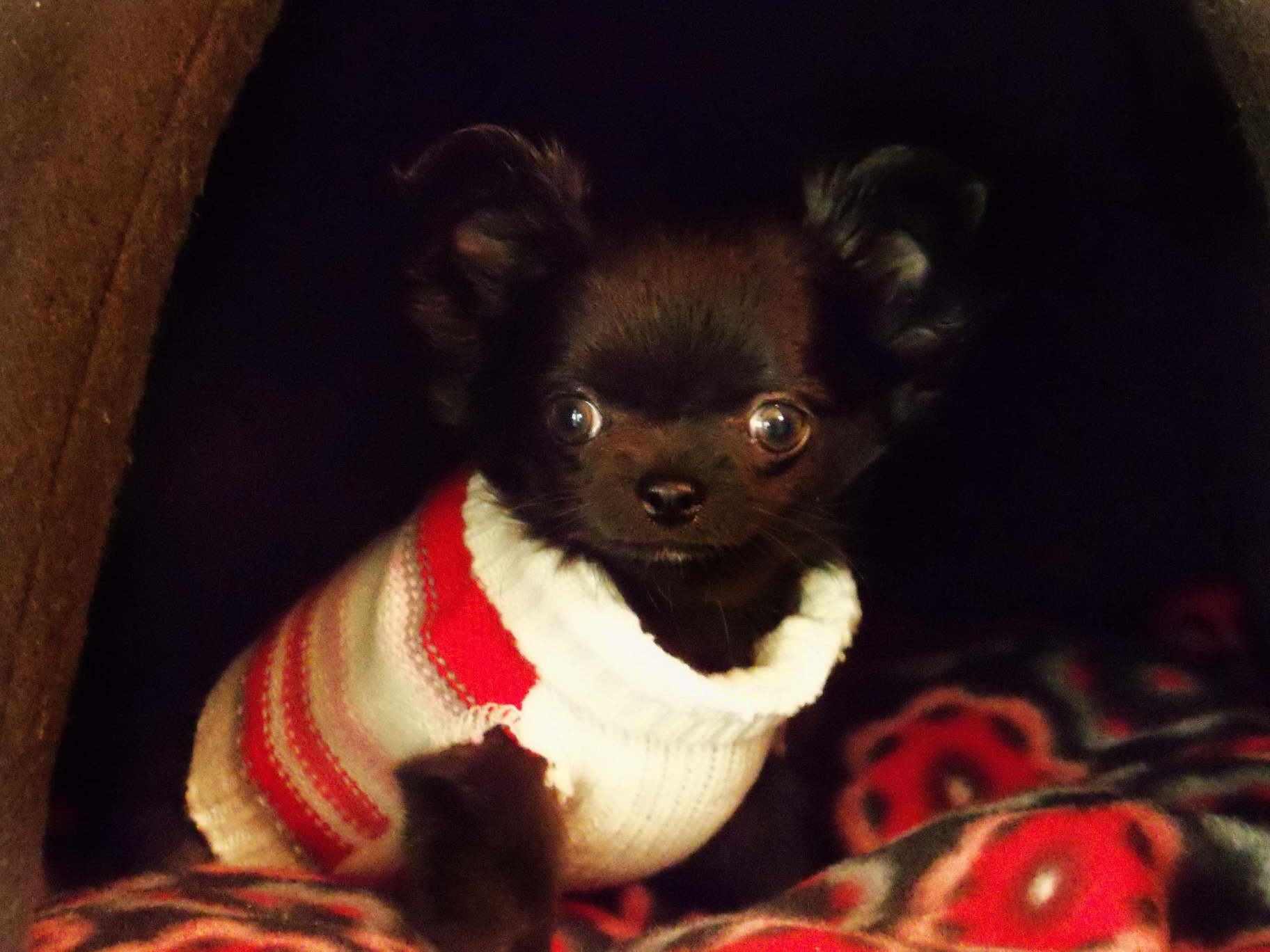Chihuahua Puppies For Sale In Wi Petsidi