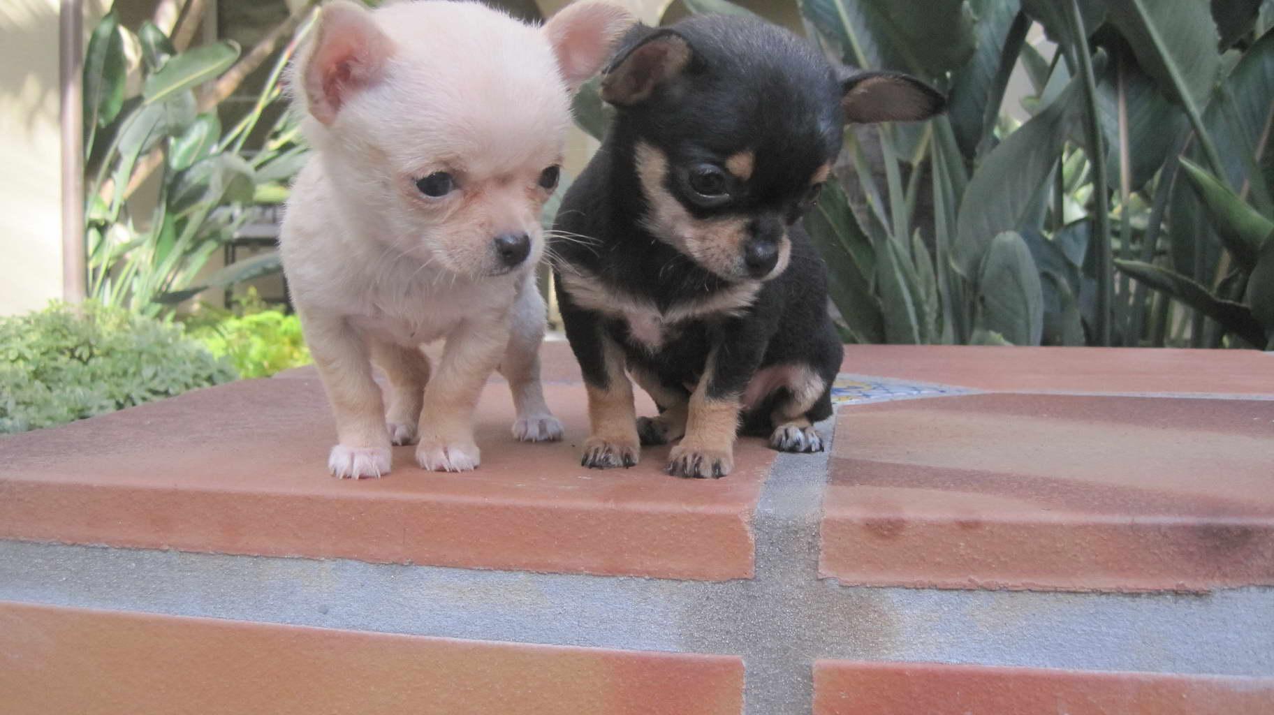 Chihuahua Puppies For Sale Knoxville Tn Petsidi