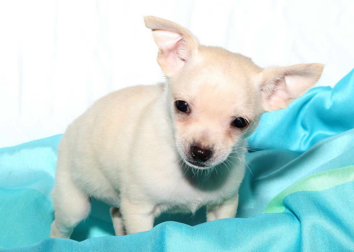 Images of Chihuahua Puppies For Sale - #rock-cafe