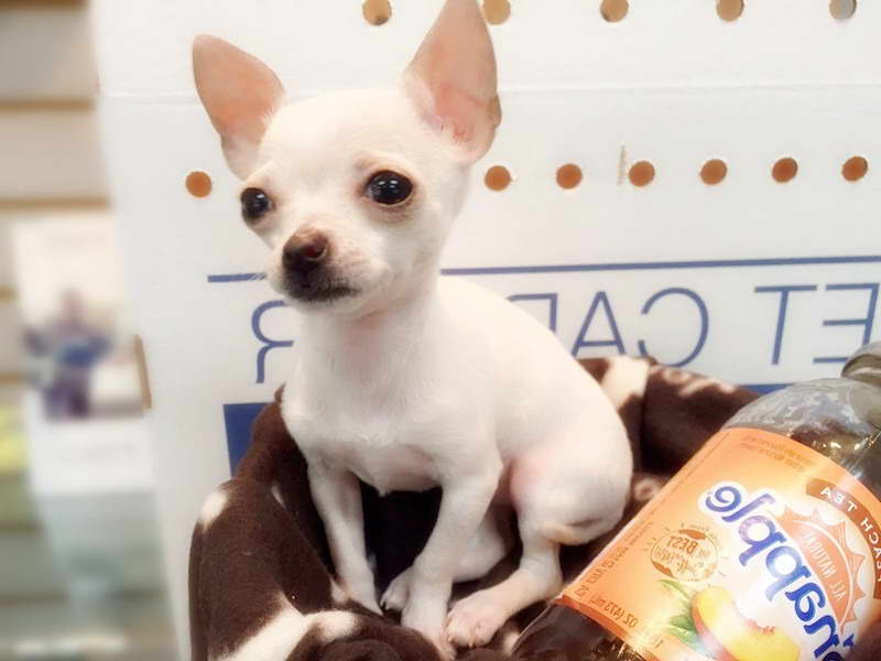 Chihuahua Puppies For Sale Nyc Pets And Dogs