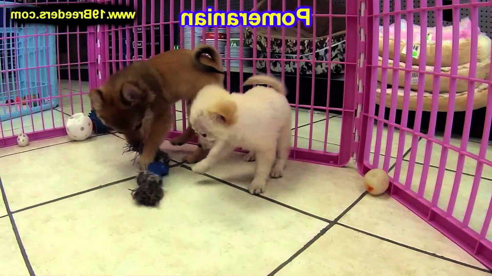 Chihuahua Puppies For Sale Portland Oregon