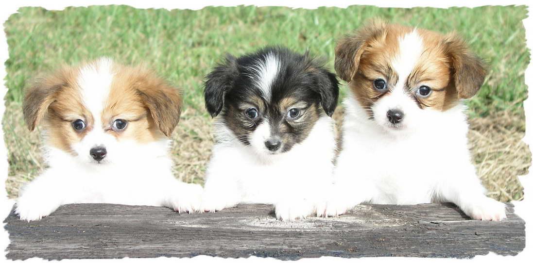 Chihuahua Puppies For Sale St Louis Mo | PETSIDI