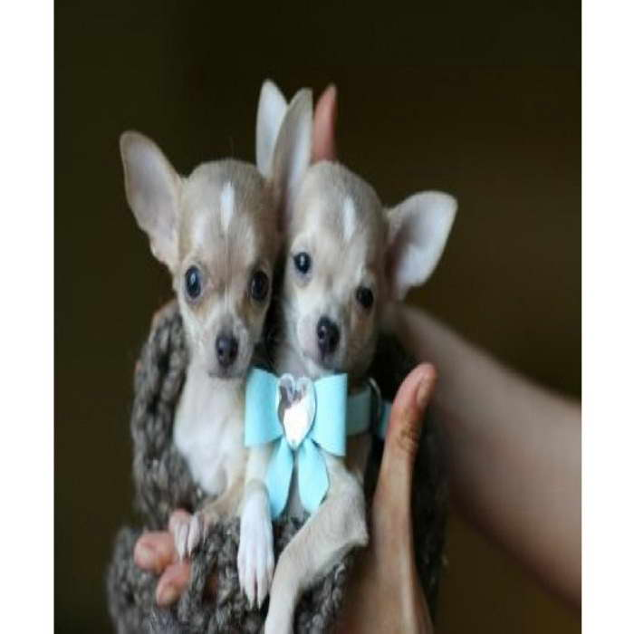 Chihuahua Puppies For Sale Syracuse Ny Pets And Dogs