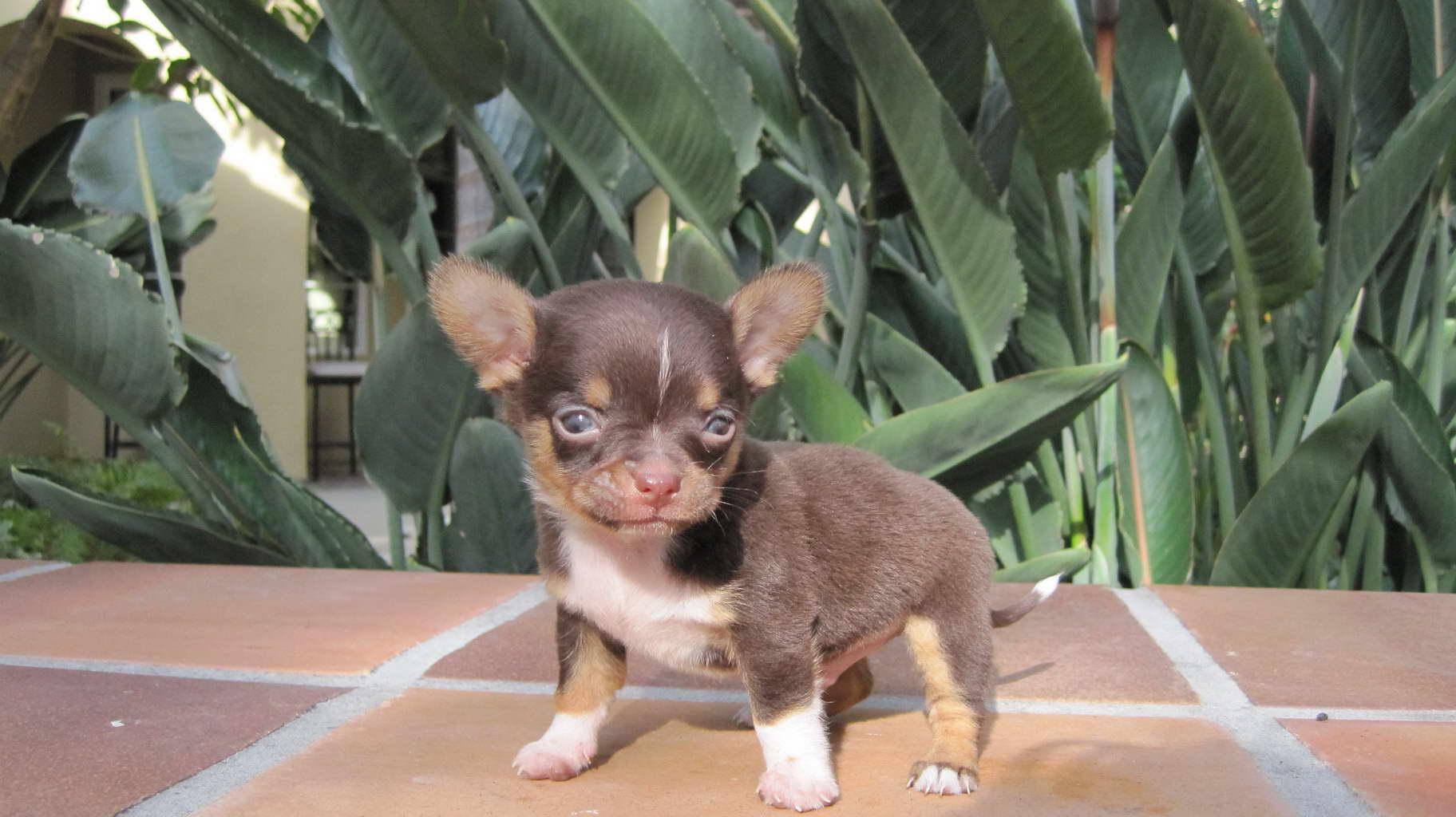 Chihuahua Puppies Indiana | PETSIDI