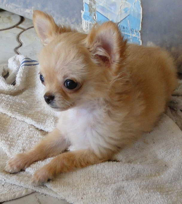 Chihuahua Puppies For Sale Lamu Kenya