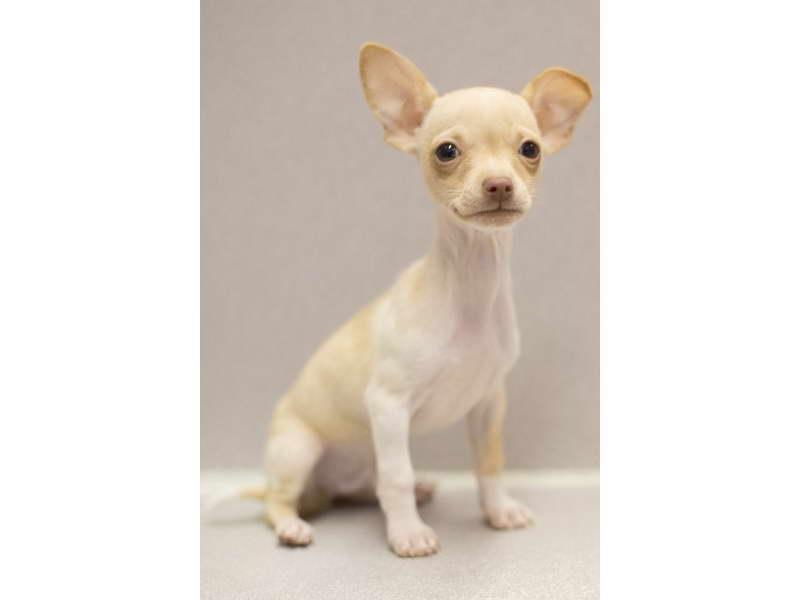 Chihuahua Puppies Wichita Ks | PETSIDI