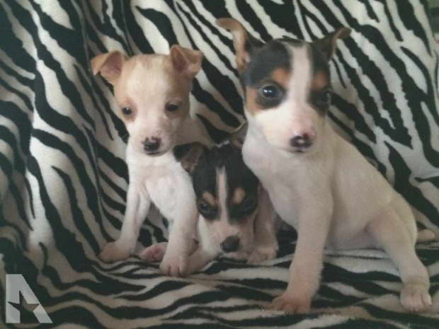 Chihuahua Rat Terrier Mix Puppies For Sale