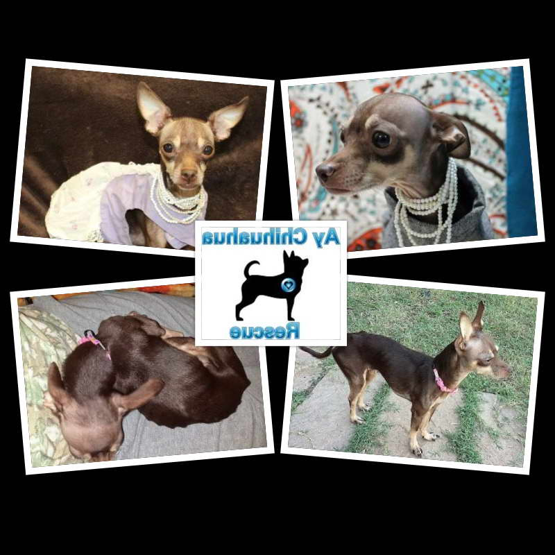 Chihuahua Rescue Austin Tx
