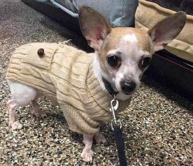 chihuahua rescue ny chihuahua rescue rochester ny pets and dogs 3297
