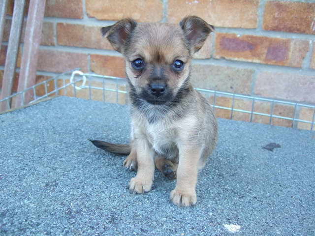 yorkie chihuahua mix for sale chihuahua yorkie mix puppies for sale pets and dogs 4652