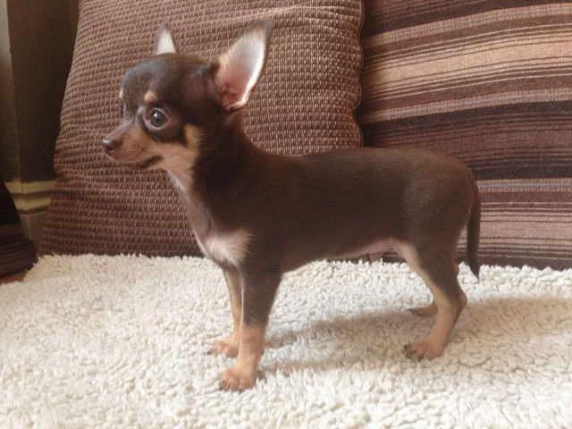 Chocolate And Tan Chihuahua