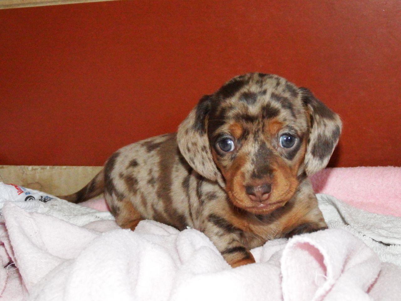 Chocolate Dapple Miniature Dachshund Puppies For Sale Petsidi