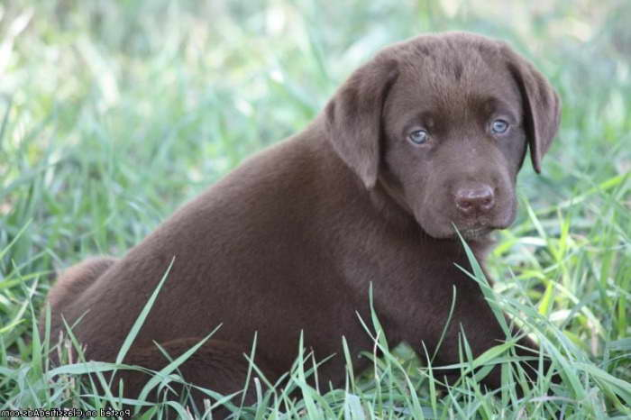 Chocolate Labrador Puppies For Sale In Ohio Pets And Dogs