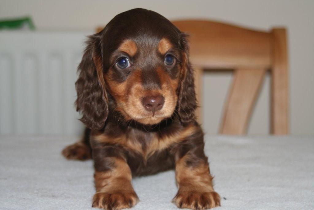 Chocolate Long Haired Miniature Dachshund Petsidi