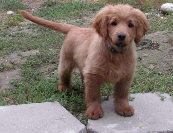 Cocker Spaniel Golden Retriever Mix Puppies For Sale | PETSIDI
