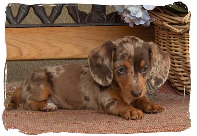 Colorado Dachshund Puppies | PETSIDI