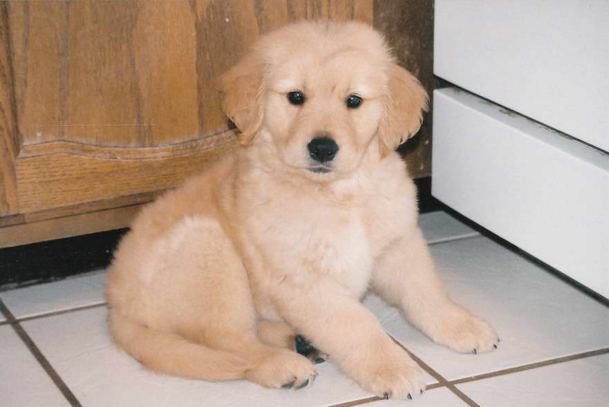 Colorado Golden Retriever Puppies Pets And Dogs
