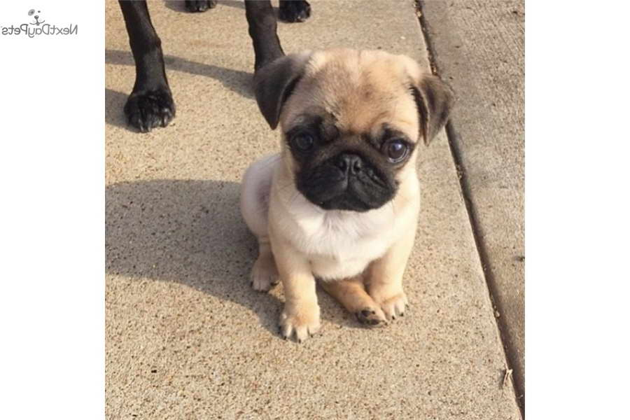 Cheap Pug Puppies For Sale Near Me