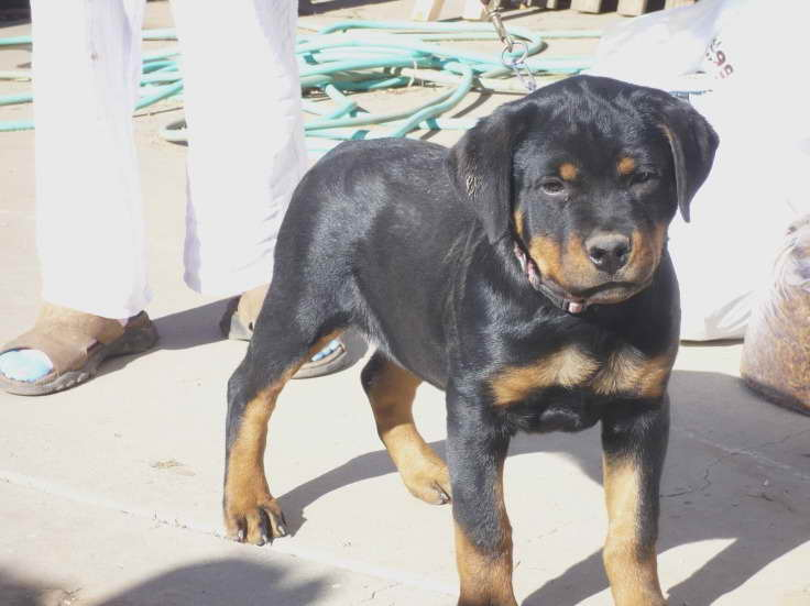 Cheap Rottweiler Puppies For Sale Near Me