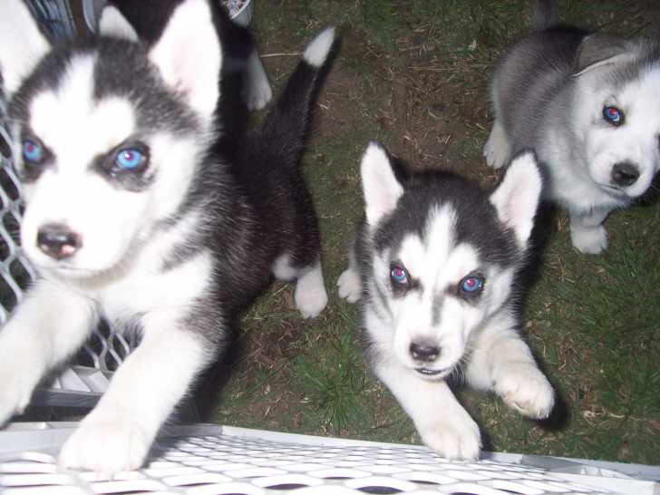 Cheap Siberian Husky Puppies For Sale Near Me