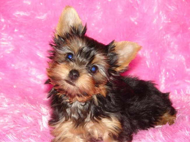 cheap yorkie puppies cheap yorkie terrier puppies for sale pets and dogs 9685