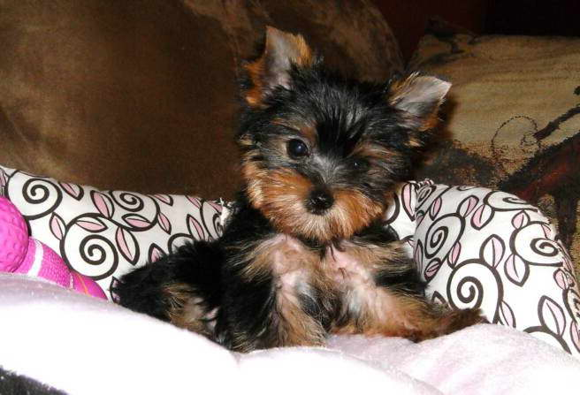 cheap yorkie puppies cheap yorkshire terrier puppies for sale pets and dogs 8784