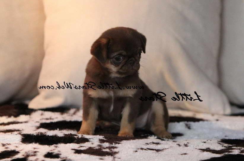 Chocolate Pug For Sale