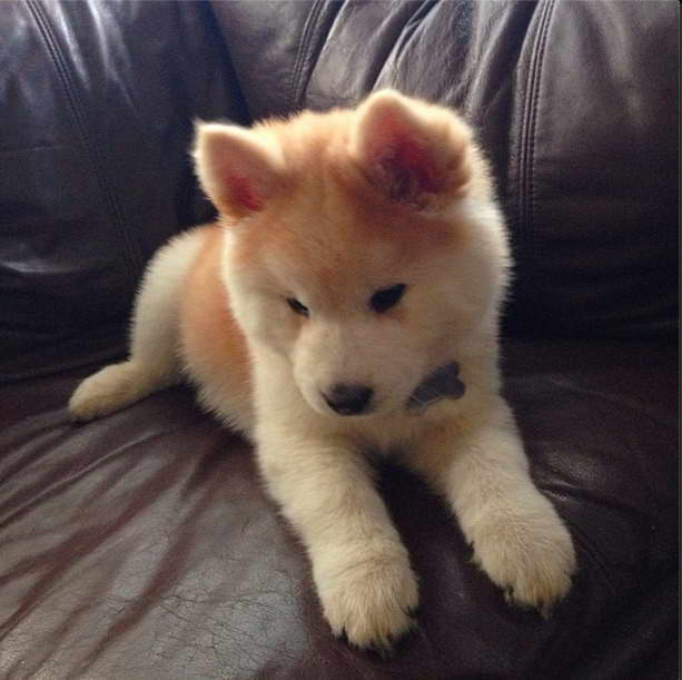 Chow Chow And Husky Mix Puppies For Sale | Pets and Dogs  Chow Chow And H...
