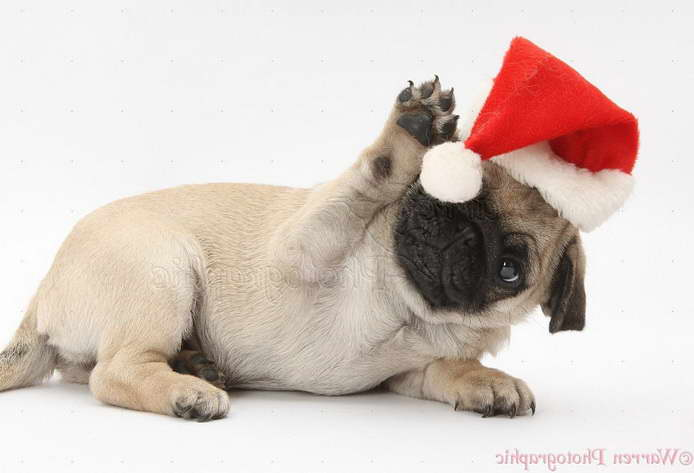 Christmas Pug Puppy
