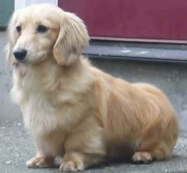 Corgi Golden Retriever Mix Puppies For Sale Pets And Dogs