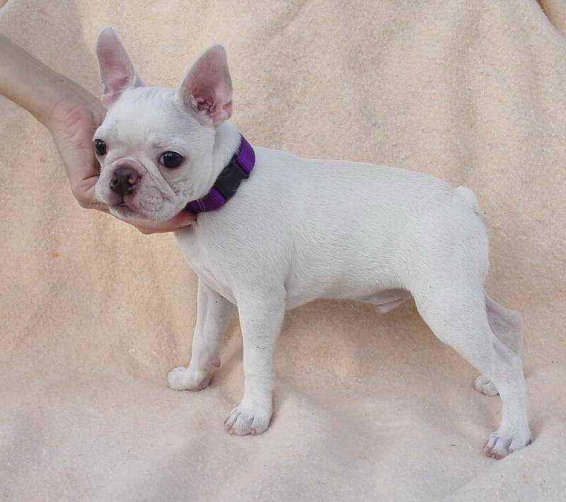 Cream Boston Terrier Puppies For Sale | PETSIDI