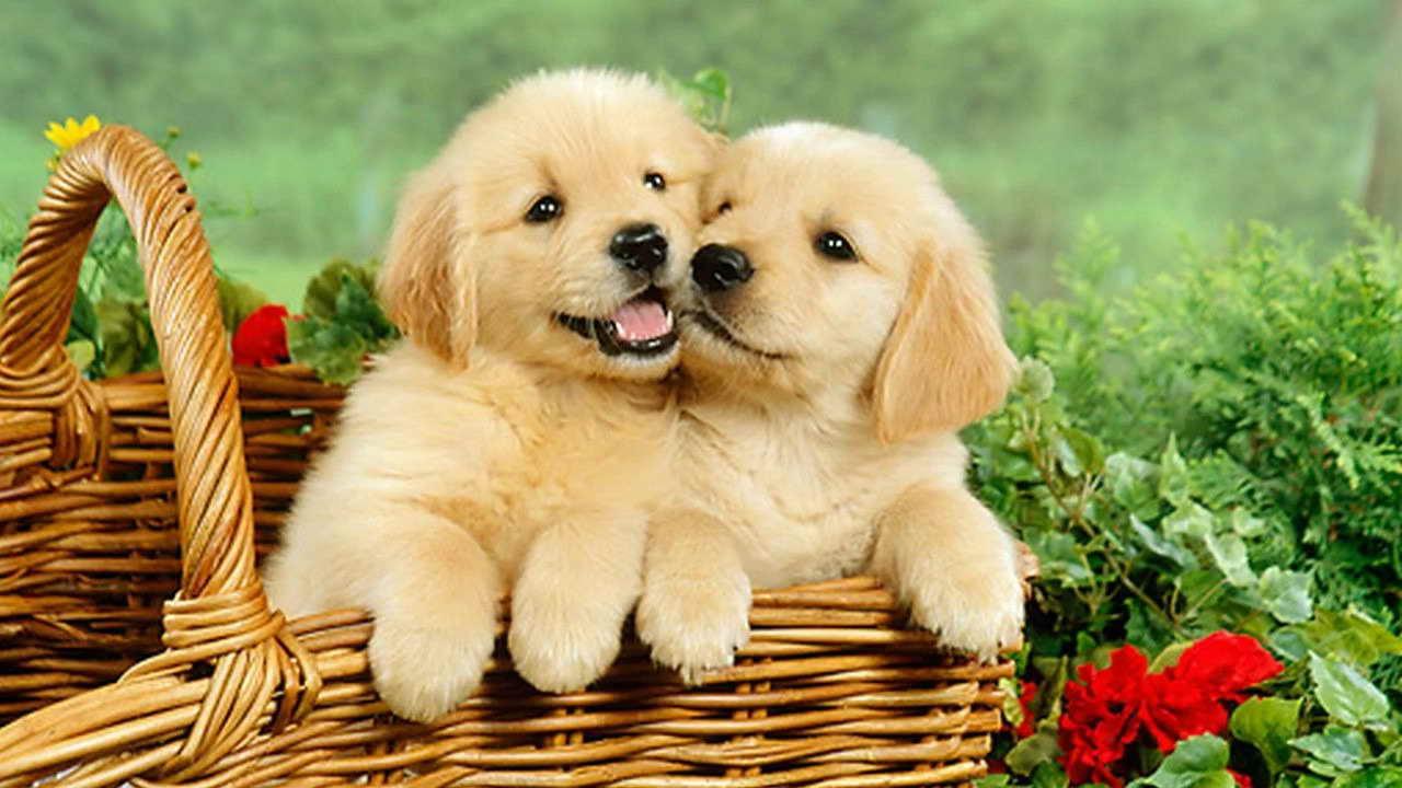 Cute Golden Retriever Puppies | PETSIDI