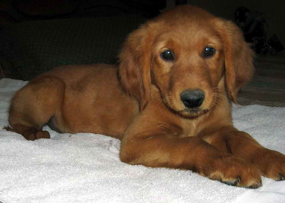 Dark Red Golden Retriever Puppies For Sale Pets And Dogs