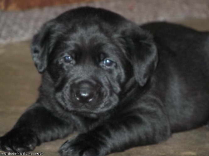 English Blockhead Labrador Puppies For Sale