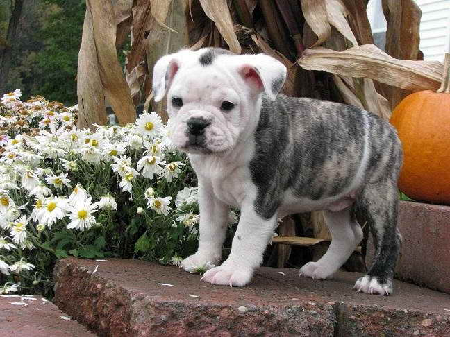 English Bulldog Boston Terrier Mix Puppies For Sale