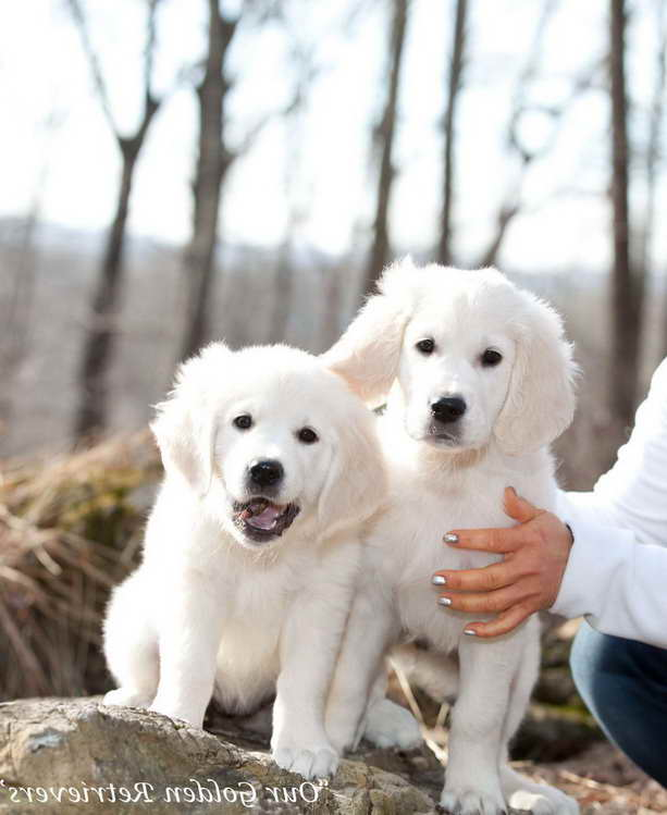 English Cream Golden Retriever Puppies Florida Pets And Dogs