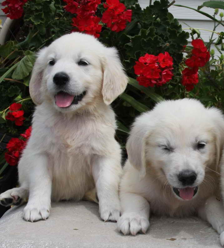 English Cream Golden Retriever Puppies Mn Pets And Dogs