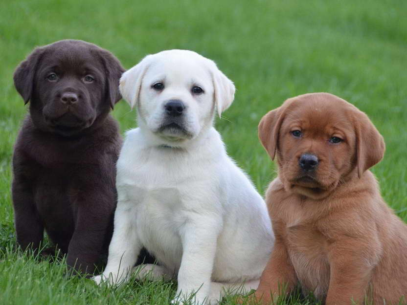English Blockhead Labrador Puppies For Sale   Pets and Dogs