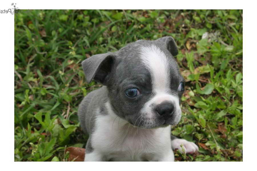 free boston terrier puppies free boston terrier puppies pets and dogs 2278