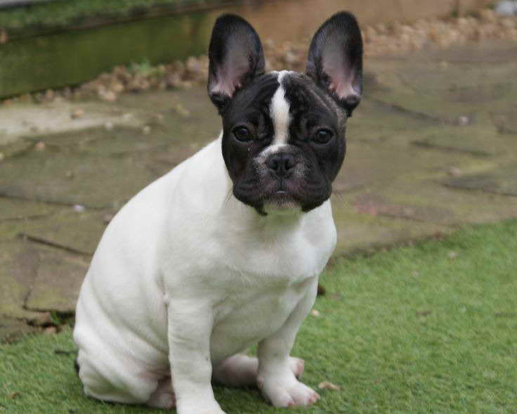 boston terrier french bulldog mix for sale french bulldog boston terrier mix puppies for sale pets 6699